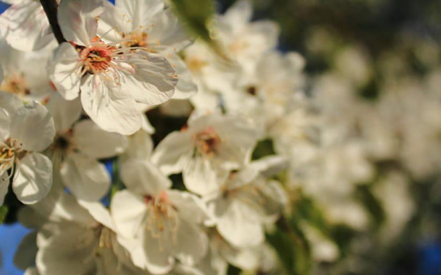 Les cerisiers en fleurs à Fougerolles