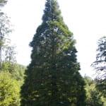 Le séquoia du Kappelbronn