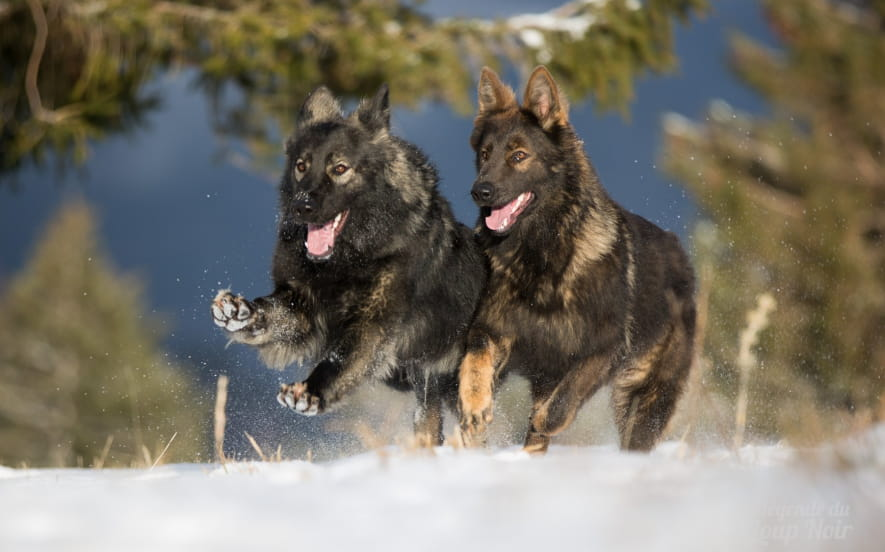 Cani-Rando à la découverte de la meute